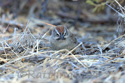 Rufous-Crowned Sparrows