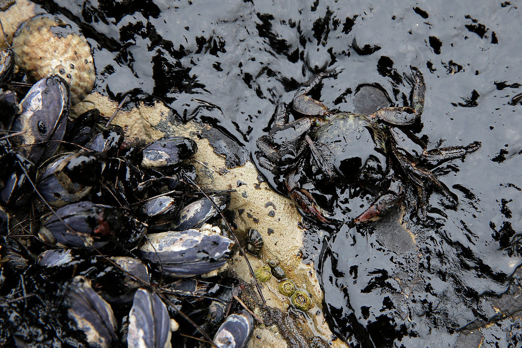 . California mussels and a crab are covered in oil at Refugio State Beach, north of Goleta, Calif., Thursday, May 21, 2015. More than 7,700 gallons of oil has been raked, skimmed and vacuumed from a spill that stretched across 9 miles of California coast, just a fraction of the sticky, stinking goo that escaped from a broken pipeline, officials said. (AP Photo/Jae C. Hong)