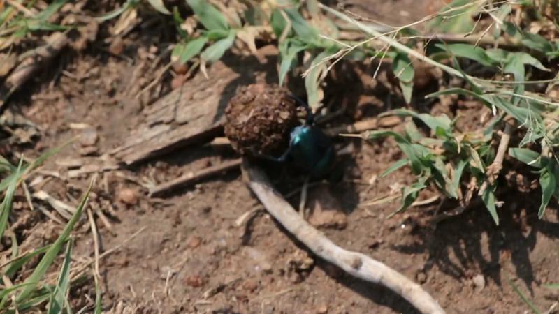 Dung Beetles-2.mp4