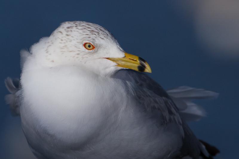 Ring-billed Gull - Palo Alto Baylands, Palo Alto, CA