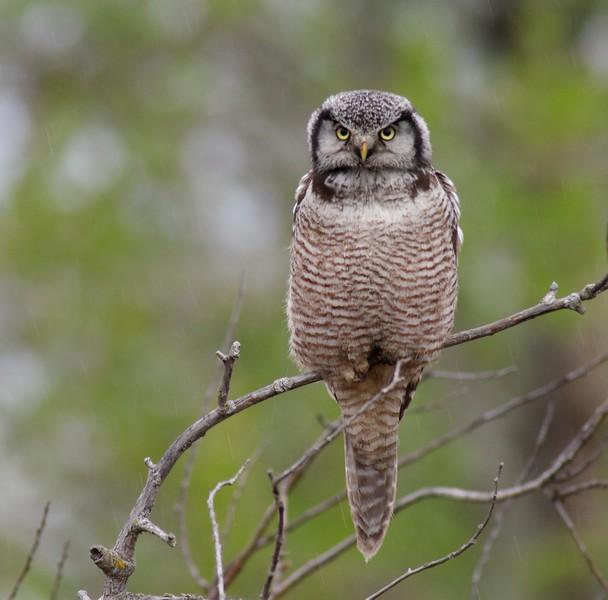 Northern Hawk Owl Sax-Zim Bog MN IMG_0019788.jpg