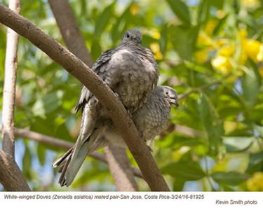 White-winged Doves P81925.jpg