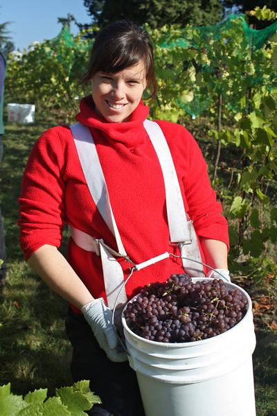 Grape Harvest 2010