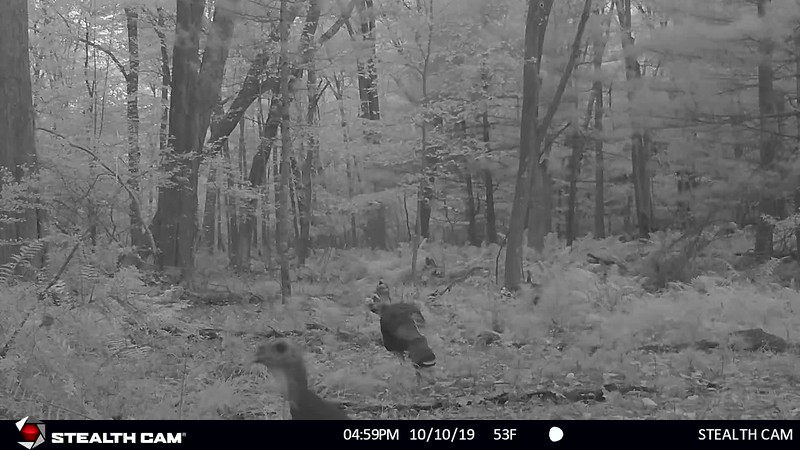10-8-19 through 10-19-19....many Wild Turkeys in front of cam...Great Blue Heron...a few yearling bucks...one with one antler