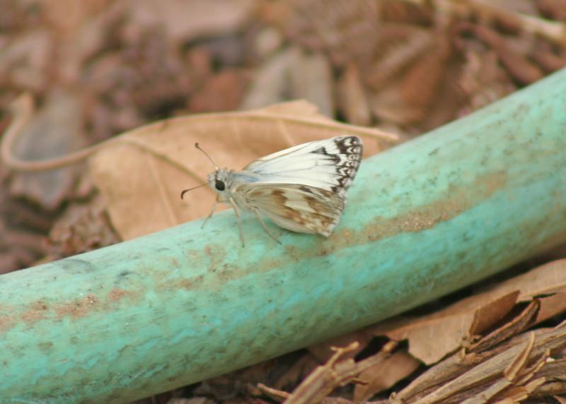 7/31/10 Northern White Skipper (Heliopetes ericetorum), reposing on the garden hose. Kyle Court, La Cresta, Murrieta, Riverside County, CA