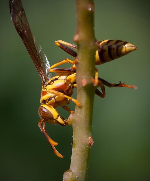 Wasp drinking sap
