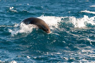 Australian Sea Lion (Neophoca cinerea)