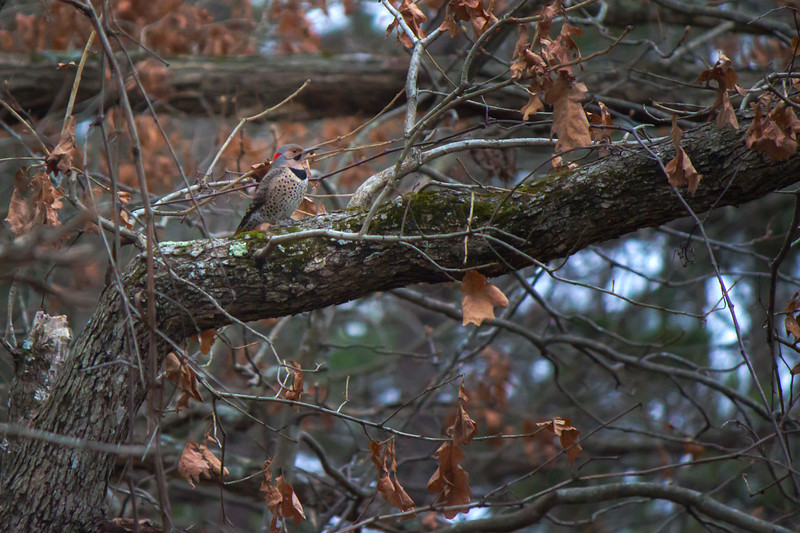 2.13.18 - Prairie Creek Recreation Area: Northern Flicker (Yellow-shafted)