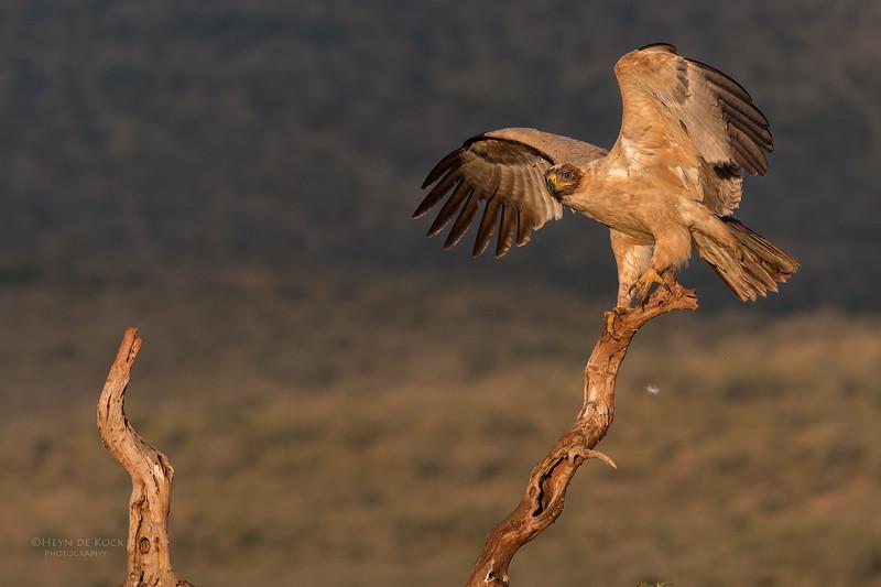 Tawny Eagle, Zimanga, South Africa, May 2017-1.jpg
