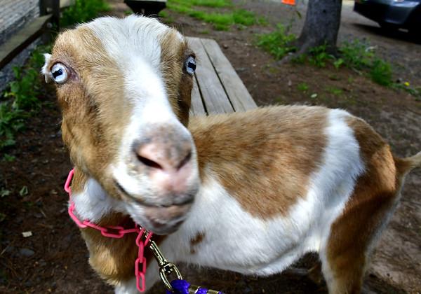 goats-SO-052719_0964