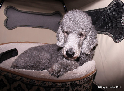 ThePoodles