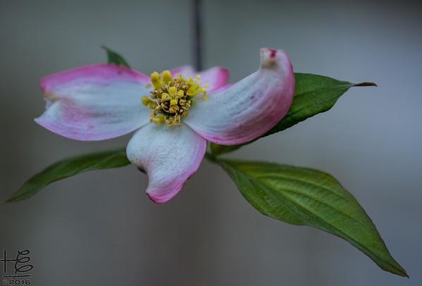 Dogwood Bracts & Flowers