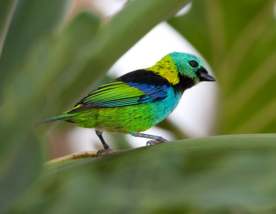 Green-headed tanagers