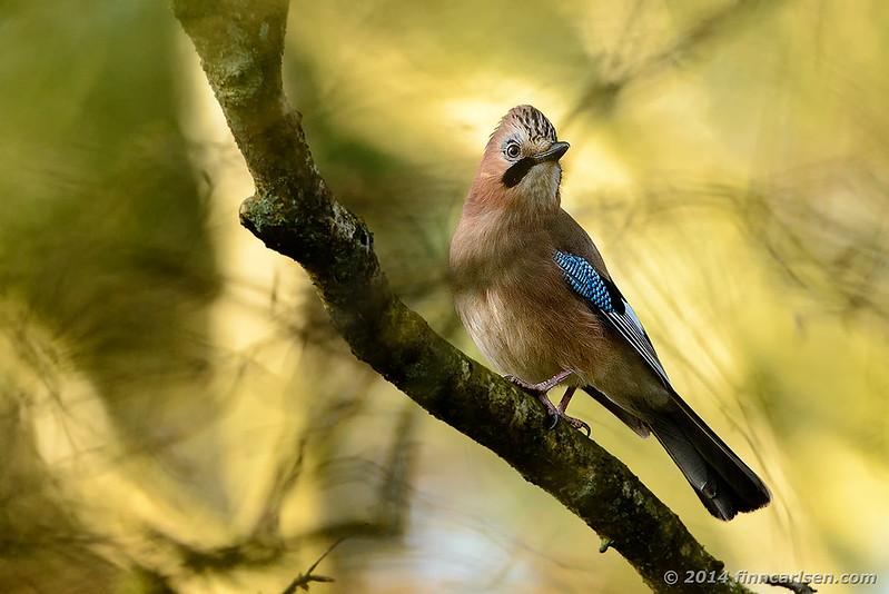 Skovskade - Garrulus glandarius - Eurasian Jay