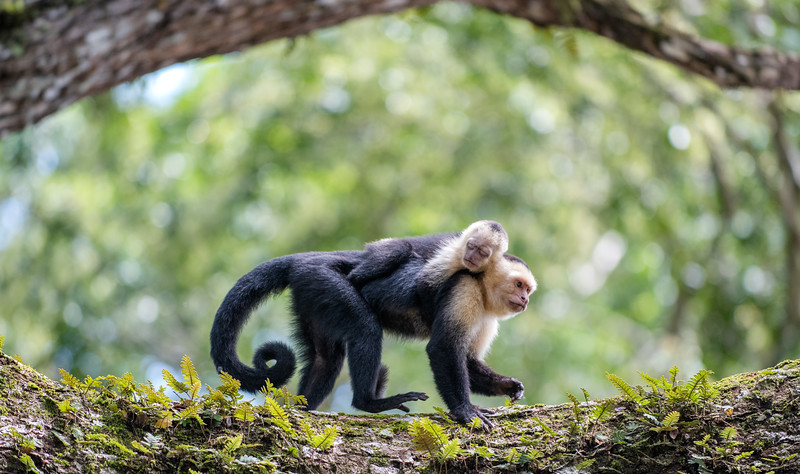 Whitefaced Capuchin