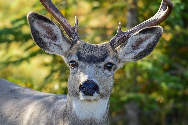 9-18-14 Mule Deer Bucks