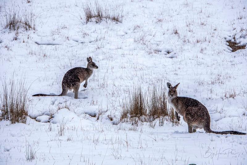 Roo in snow Aug 8- 3_1.jpg