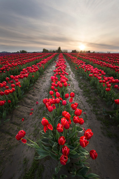 tulips red lighter.jpg