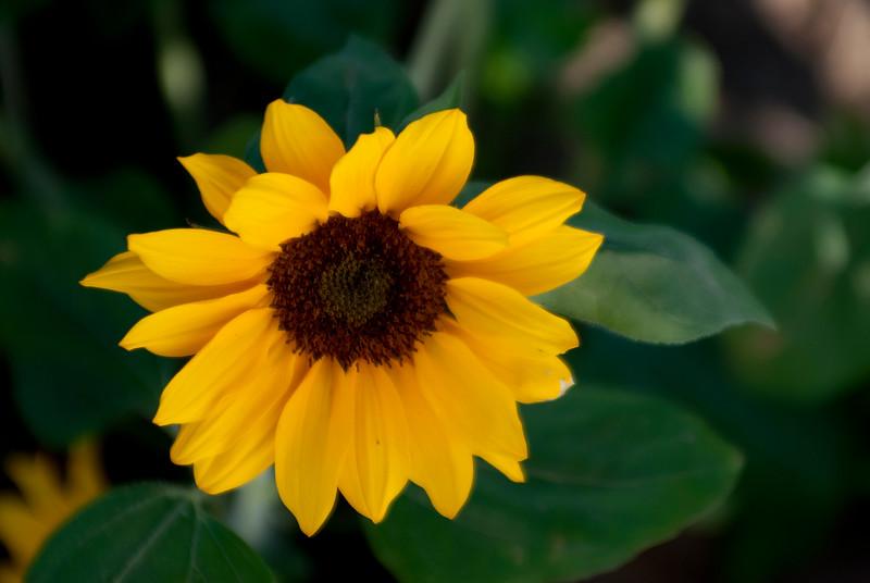 130411_Sunflowers_032-Edit A.jpg
