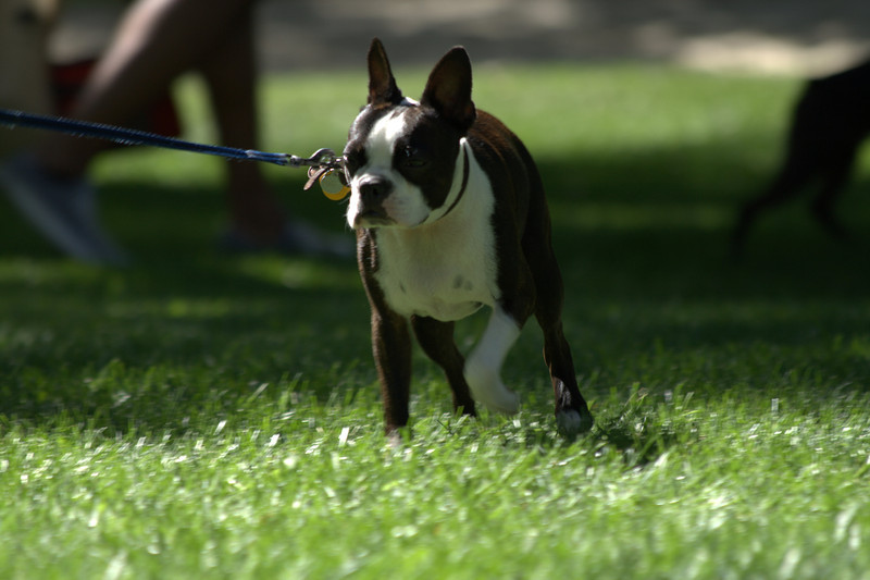 boston terrier oct 2010 178.jpg