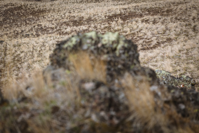 Fresh 6 point elk antler in Oregon.