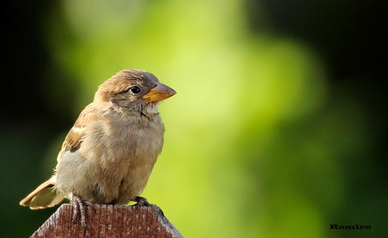 Sparrow 6-16-15 064.jpg