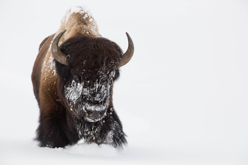 Snow-caked bison, Yellowstone National Park