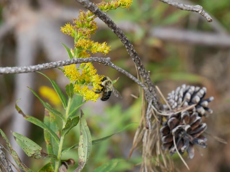 Bumblebee sp?