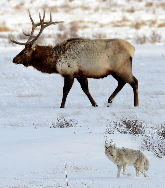 . A coyote walks by a bull elk in the National Elk Reserve outside the Grand Tetons. PHOTO:Will Lester