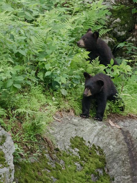 Black Bear in Yard-84-37.jpg