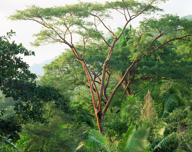 Sierra Madre Foothills, Jalisco, Mexico/ Red-barked Gumbo limbo (Bursera simaruba) amid oil nut palms (Orbygnia guaycoyule) in jungle near Puerto Vallarta. 199H5