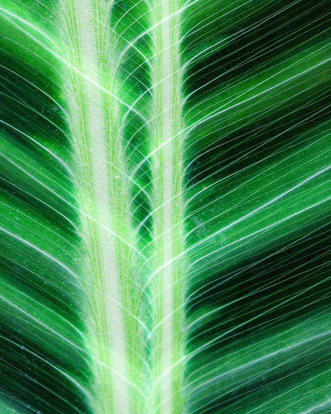 canna leaves