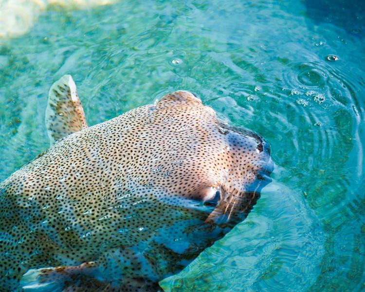 Puffer fish - Bahamas