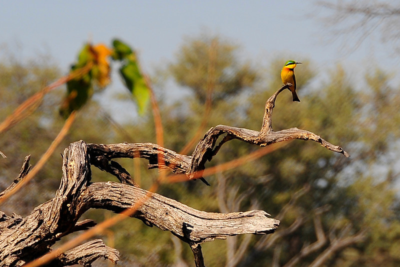 EPV1399 Little Bee-Eater, East African race