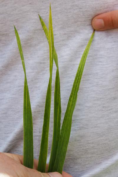 Magnesiummangel i hvete