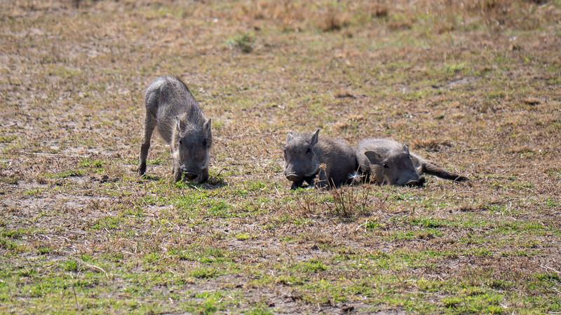 Tanzania-Serengeti-National-Park-Safari-Warthog-02.jpg