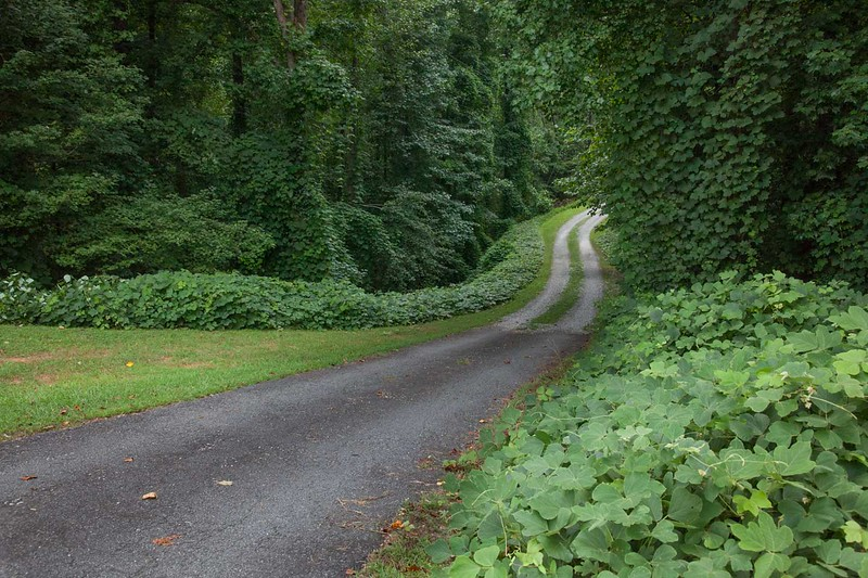 Driveway where kudzu is used as part of the landscape design.