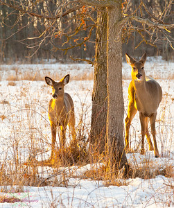 Deer in Whitnall Park