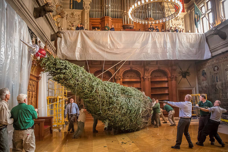 group of men setting up large xmas tree