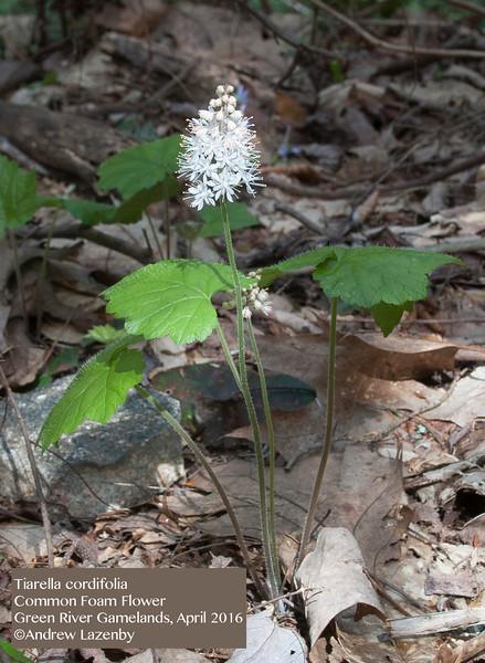 Tiarella%20cordifolia.jpg