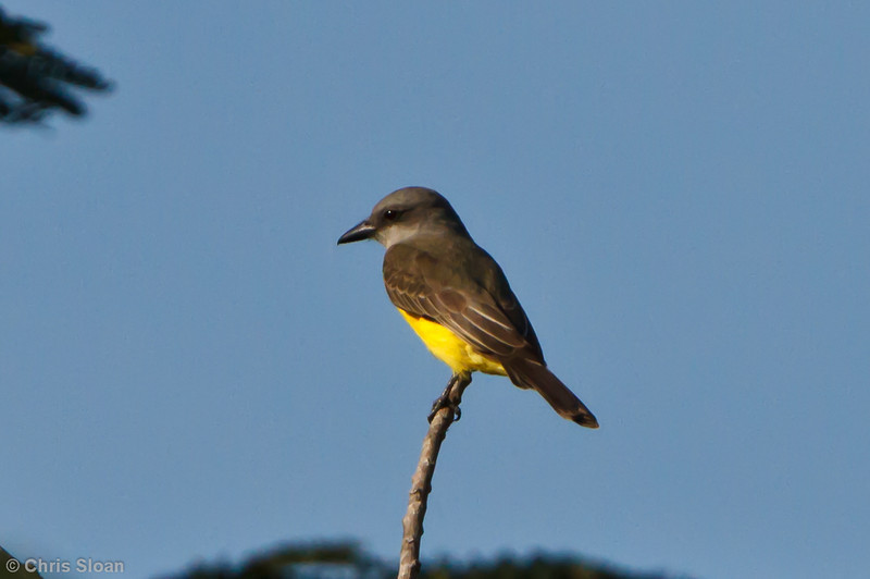 Tropical Kingbird at Juan Guerra, Tarapoto, Peru (07-04-2010)-56.jpg
