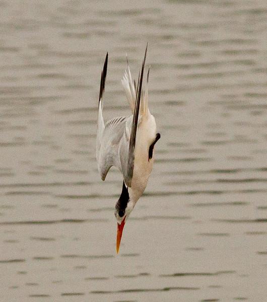 Elegant Tern  San Elijo Lagoon 2012 09 13 (6 of 6).CR2