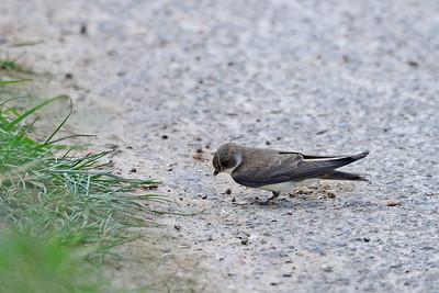 Schwalben, Segler - Swallows, swifts