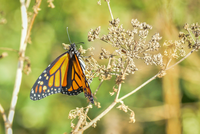 -_Butterfly - Butterfly - 2013-09-16_145 CoyoteCrkTrails.jpg