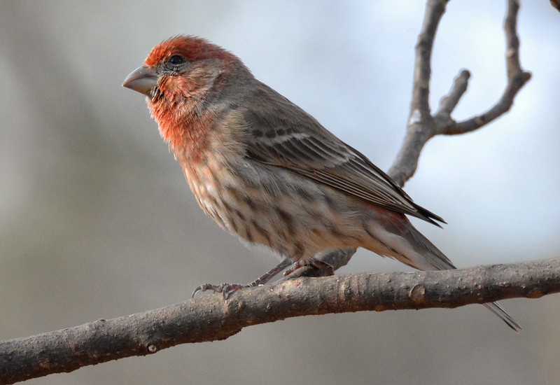 2016 xmas red head finch lower angle.jpg