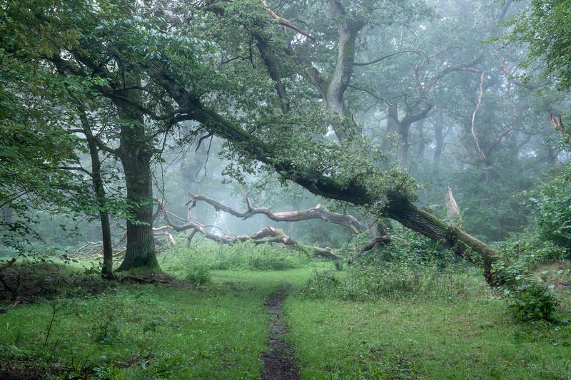 Oak Forest Denmark morning fog landscape woodland photography.jpg
