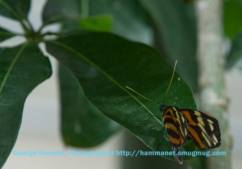 The helcale longwing butterfly found a large leaf as a resting place.