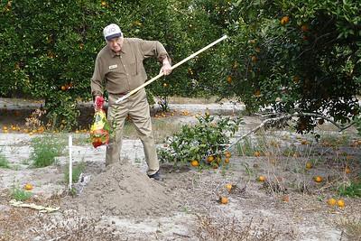 Orange Picking Jan-8-2012