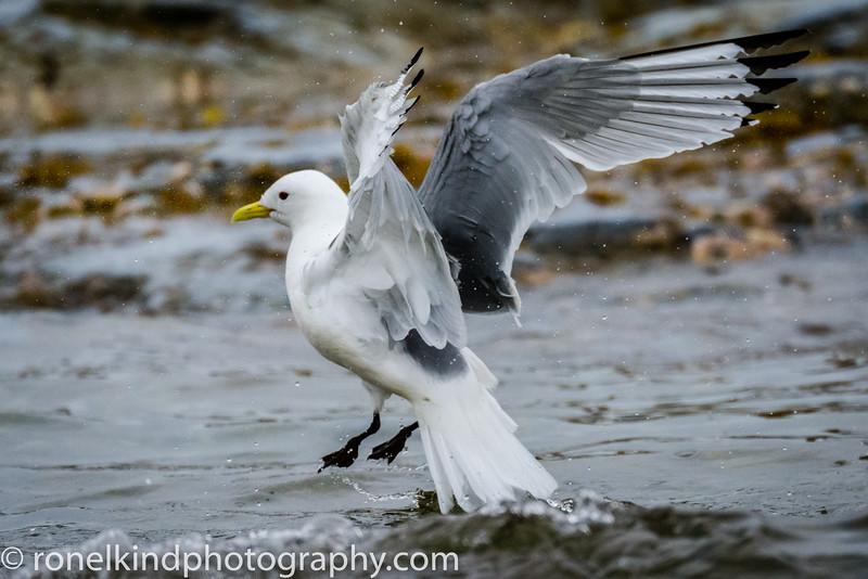 Glaucous Gull Landing