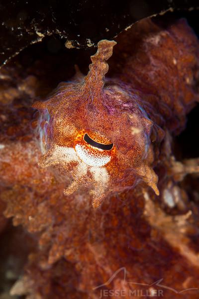 Pacific Red Octopus - Sunrise Beach Park in Gig Harbor, Washington